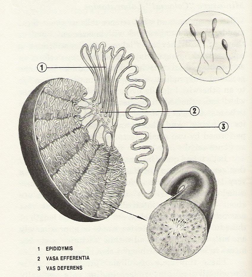 forstørret testikel